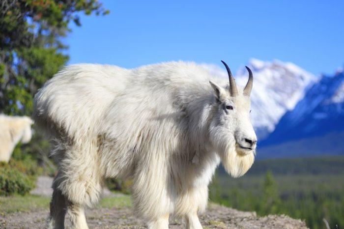Animalul care sigur nu stiai ca exista! Asa arata o capra de munte din SUA! E unul dintre cele mai putin cunoscute animale din lume