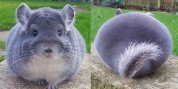 Cele mai ciudate animalute pe care le-ai vazut! Sunt atat de pufoase incat posterioarele lor par modificate in Photoshop. Ce rasa sunt