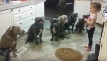 O fetita hraneste 6 pitbulli infometati. E o nebunie! Ce s-a intamplat dupa ce a pus mancarea pe jos VIDEO