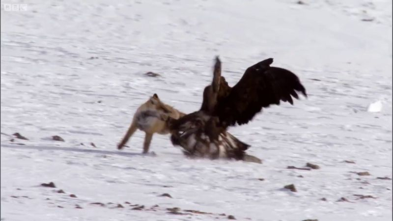Vulturul face ce a fost invatat de mic