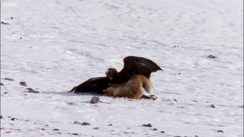 Vulpea nu are nicio sansa in fata ghearelor ascutite ale pasarii de prada