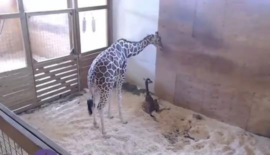 Cel mai urmarit moment de pe internet. Girafa April a nascut un pui perfect sanatos! 1 milion de oameni au vizionat totul in direct VIDEO