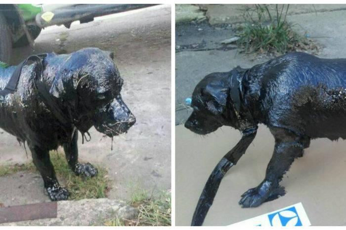Povestea cainelui acoperit cu smoala! Niste oameni l-au gasit hoinar, pe strada! Cum arata dupa ce s-au chinuit sa il salveze