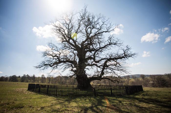 Legenda impresionanta a celui mai vechi arbore din Romania! Cum a fost descoperit si la ce varsta a ajuns acum