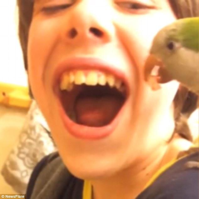 un papagal scoate un dinte