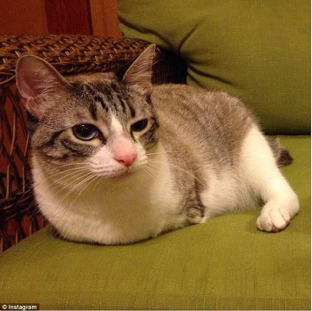 pisica fara labute