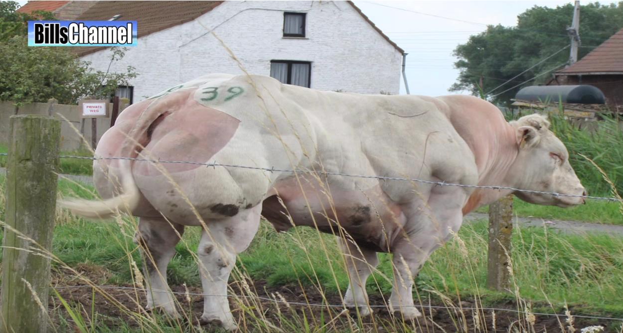 Taurii belgieni, crescuti pentru carne! Prin ce chinuri trec