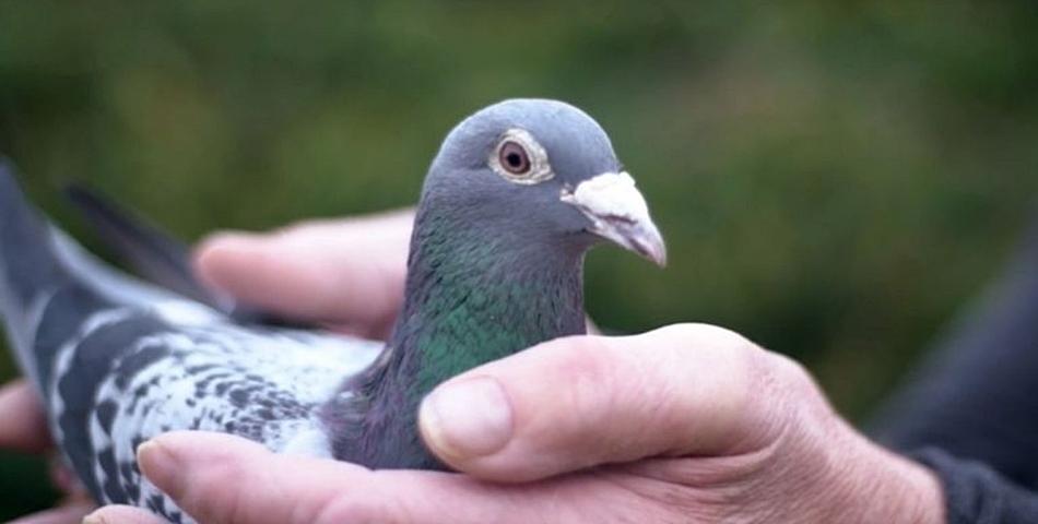 Armando, cel mai scump porumbel din lume, a fost vandut