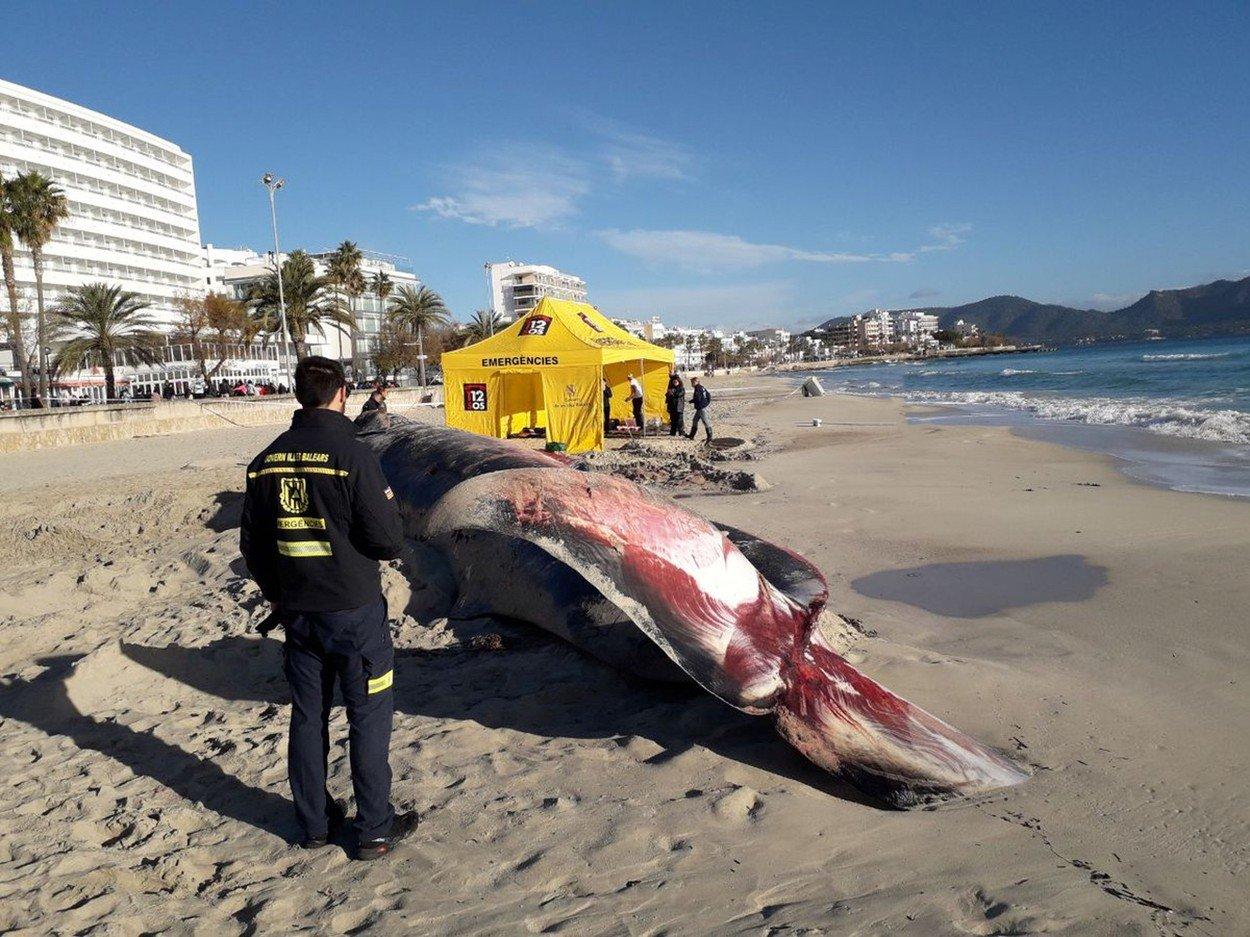 Balena insarcinata, moarta pe plaja! E IREAL ce au gasit oamenii in pantecele ei, pe langa fetus