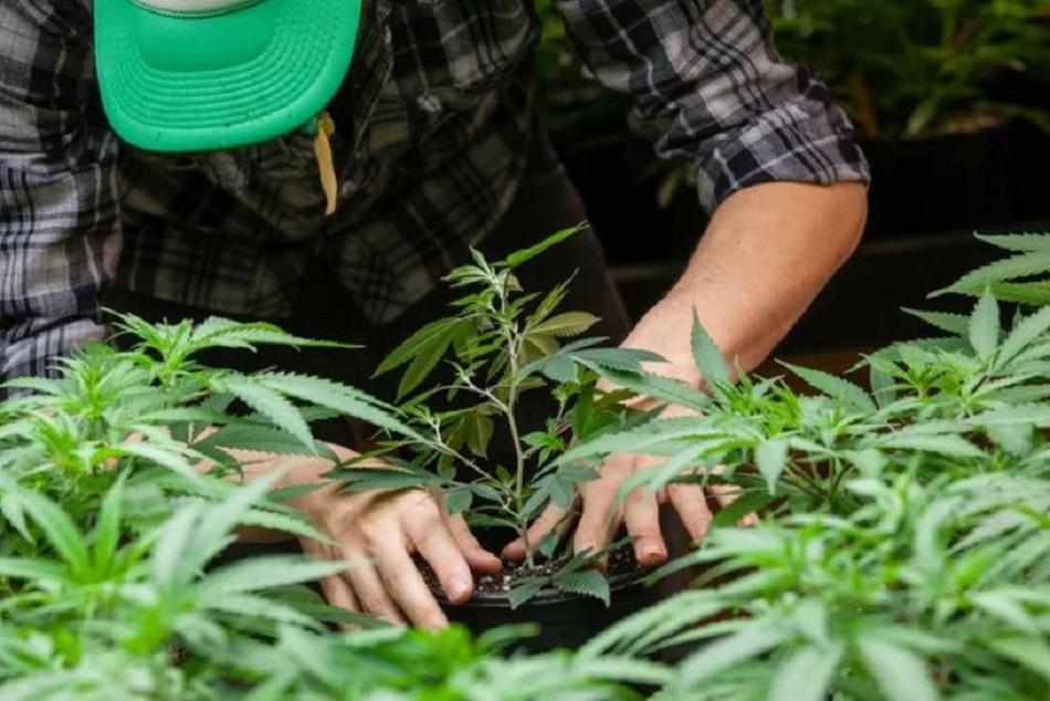 Locul de origine al cannabisului a fost descoperit de savanti