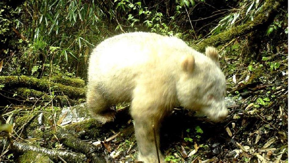 Ursul panda alb, fotografiat pentru prima data