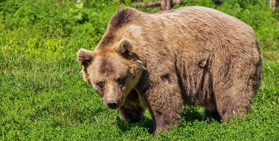 O fetiță hrănește un urs din mână pe Transfăgărășan