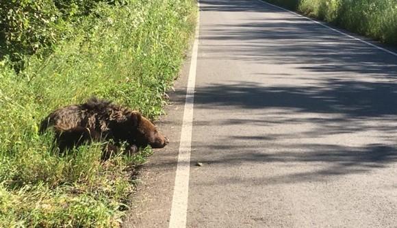 Ursul care a fost lăsat să agonizeze